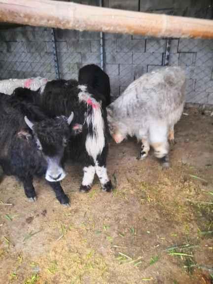 駐馬店附近有養殖出售迷你寵物驢