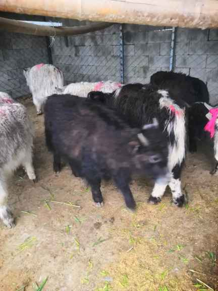 中山附近有养殖出售羊驼矮马宠物