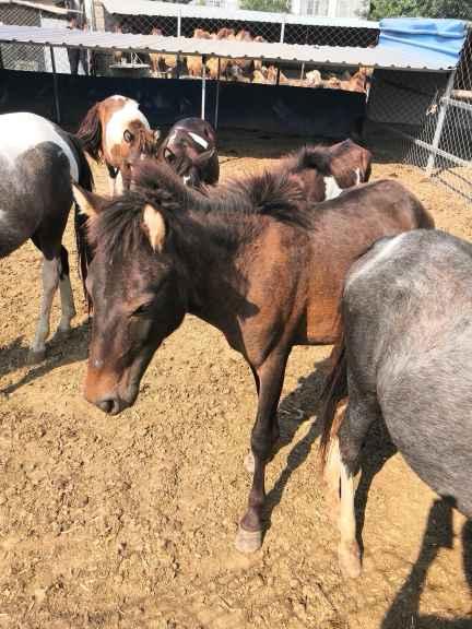 廣西什么地方有養殖出售羊駝矮馬