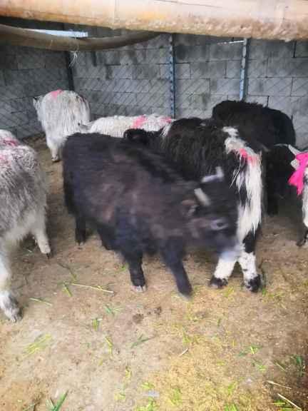 柳州卖羊驼矮马宠物驴的在什么地方