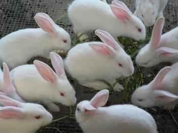 新西兰肉兔养殖成本多少
