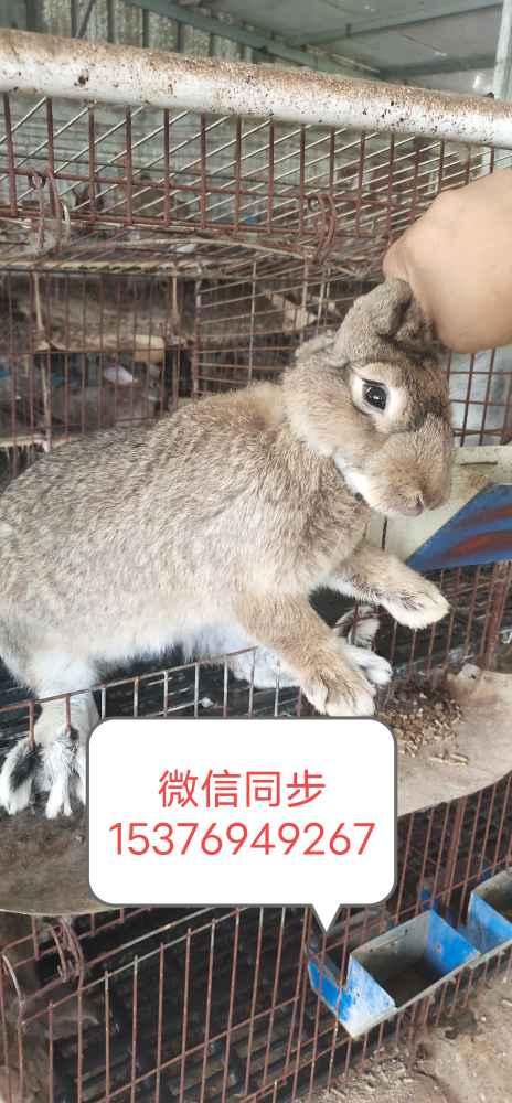 比利时肉兔技术哪里出售比利时